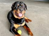 Agenturhund Chapo